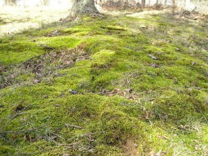Moss in the Yard and Garden