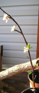 Purple Leaf Plum Propagation