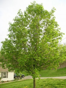 Why You Shouldn't Plant a Bradford Pear Tree But Some People Do Anyway