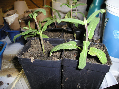 Propagating Perennials: Russian Sage, Salvia, and Coneflower