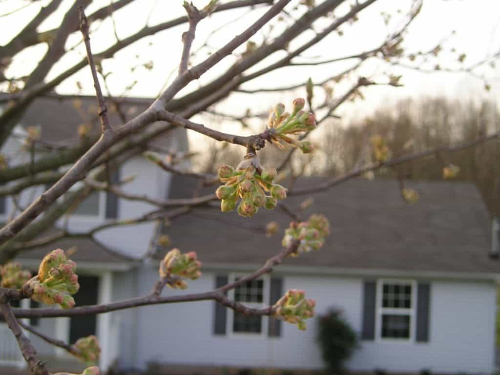 Bradford pear buds - Why You Shouldn't Plant a Bradford Pear Tree