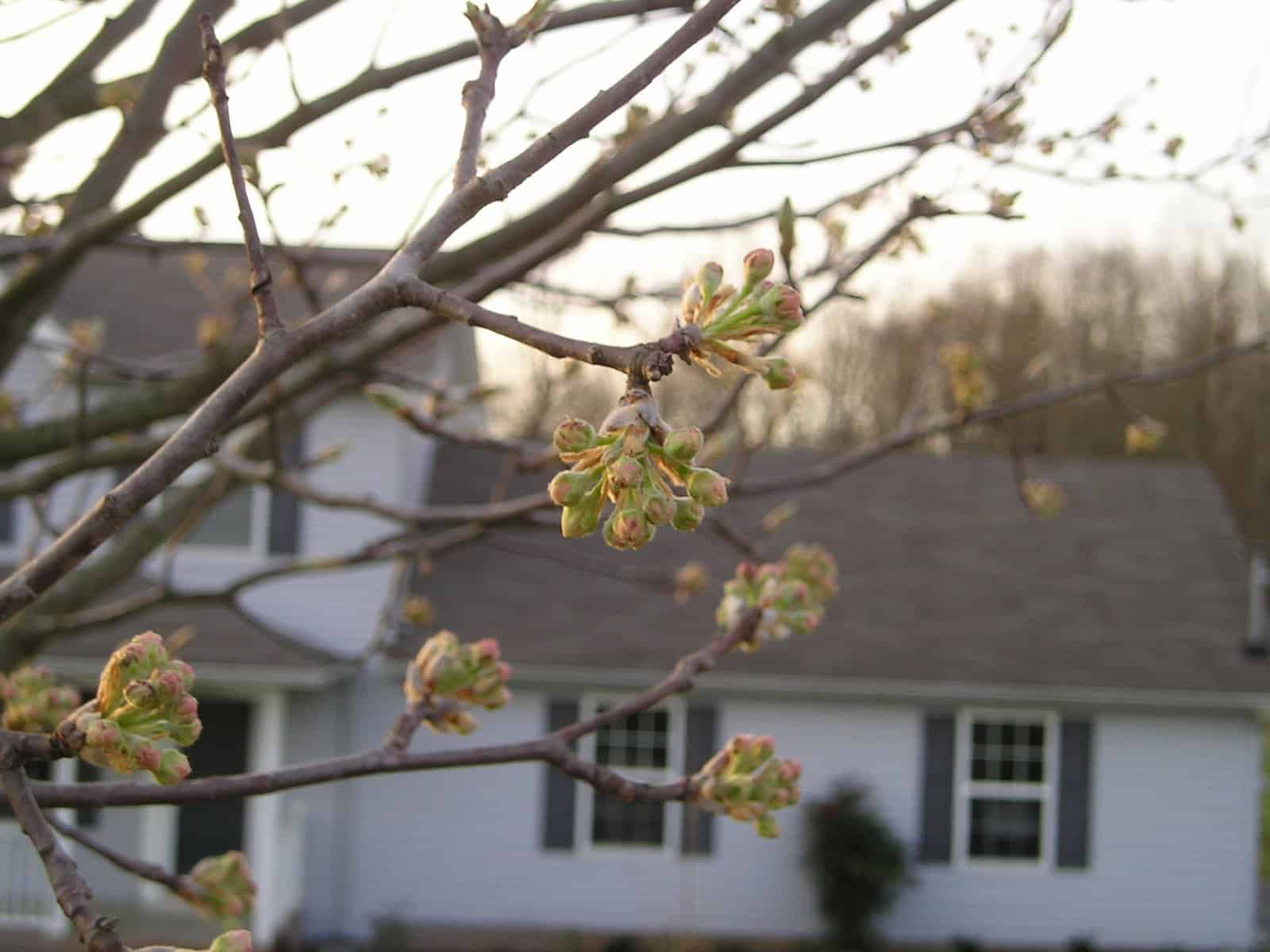 Why You Shouldnt Plant A Bradford Pear Tree In Your Landscape