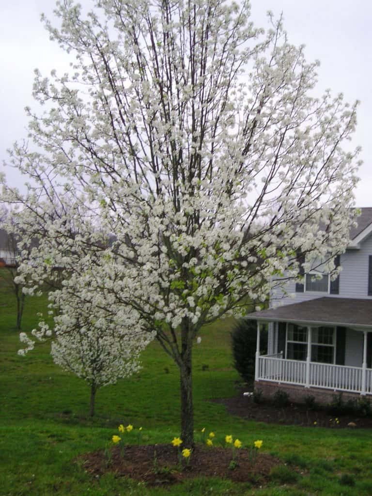 Flowering Bradford Pear Tree - Why You Shouldn't Plant a Bradford Pear Tree