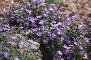 Garden Photography: Asters and Butterflies (with my new camera!)