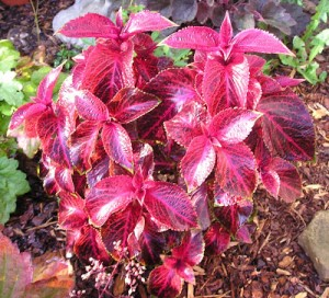 Coleus Cuttings: Are they the Easiest Cuttings You'll Ever Root?