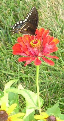 Zinnias: A Great Way to Attract Hummingbirds and Butterflies