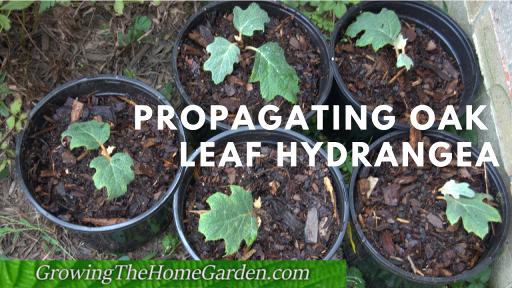 Propagating Oak Leaf Hydrangea - Cuttings