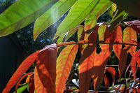 Garden Blogger Fall Color Project: