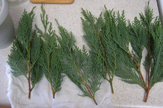Plant Propagation: Leyland Cypress Cuttings