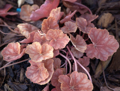 Heuchera 'Dale's Strain' or is it?