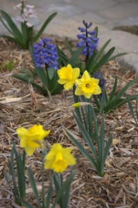 Daffodils-and-Hyacinths-3-2009-1