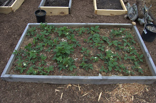 The Strawberry Bed (from the Vegetable Garden)