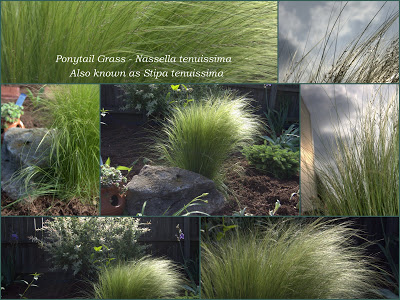 Ponytail Grass in the garden