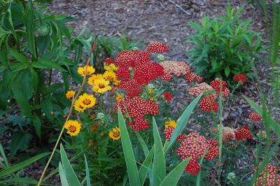 what looks good with coreopsis - Threadleaf Coreopsis