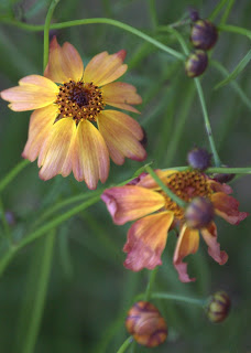 Coreopsis 'Limerock Dream'