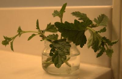 Propagating Purple Homestead Verbena Growing The Home Garden