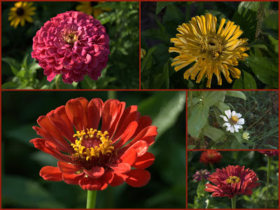 Consider Zinnias For Easy Color !
