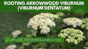 Rooting Arrowwood Viburnum