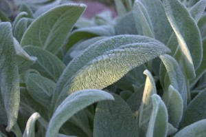Lamb's Ear: A Touchable Texture Plant
