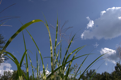The Miscanthus and the Big, Big Sky