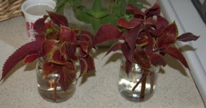 Saving Coleus Over Winter
