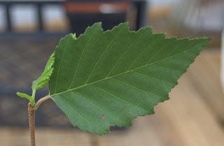 birch leaf from birch tree