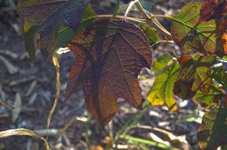 Oak Leaf Hydrangea (Hydrangea quercifolia)
