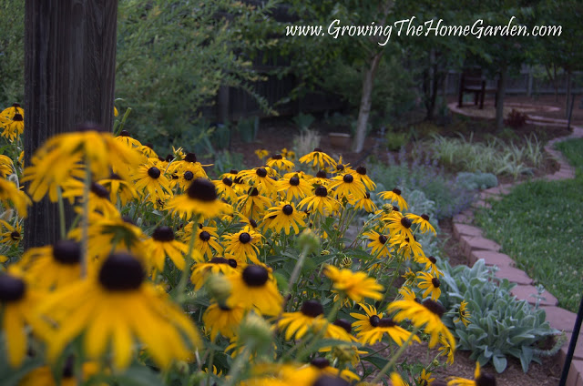 Picture of Rudbeckias in the Garden in July