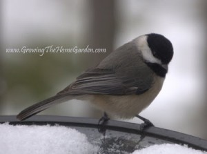 Chickadee Ready for A Closeup