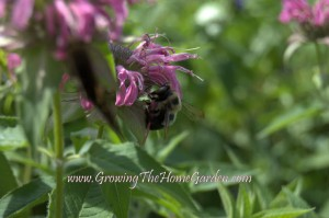 Monarda is Called Bee Balm for a Reason!