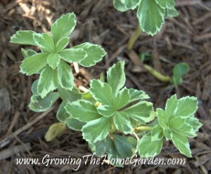 Variegated Pachysandra – A Plant I Wish I Had a Spot For