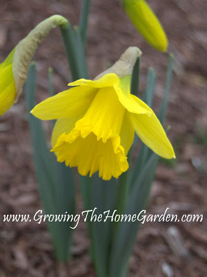 The First Daffodil Bloom of 2010