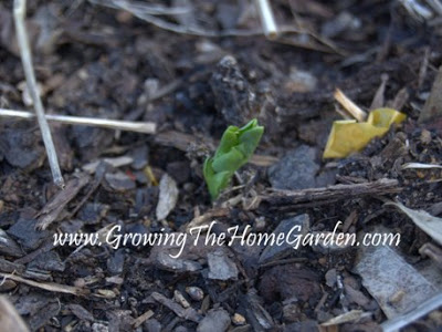 Sugar Snap Peas Sprouting – From the Vegetable Garden