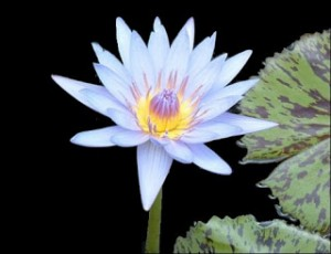 Keeping and Growing Water Lilies
