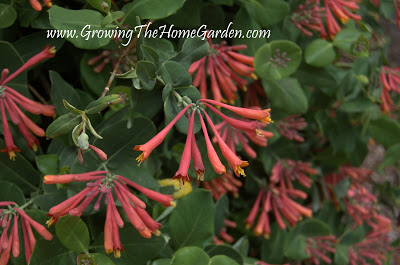 Coral Red Honeysuckle (Lonicera sempervirens)