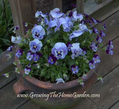 A Perfect Pot of Pansies