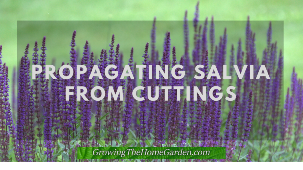 propagating salvia from cuttings