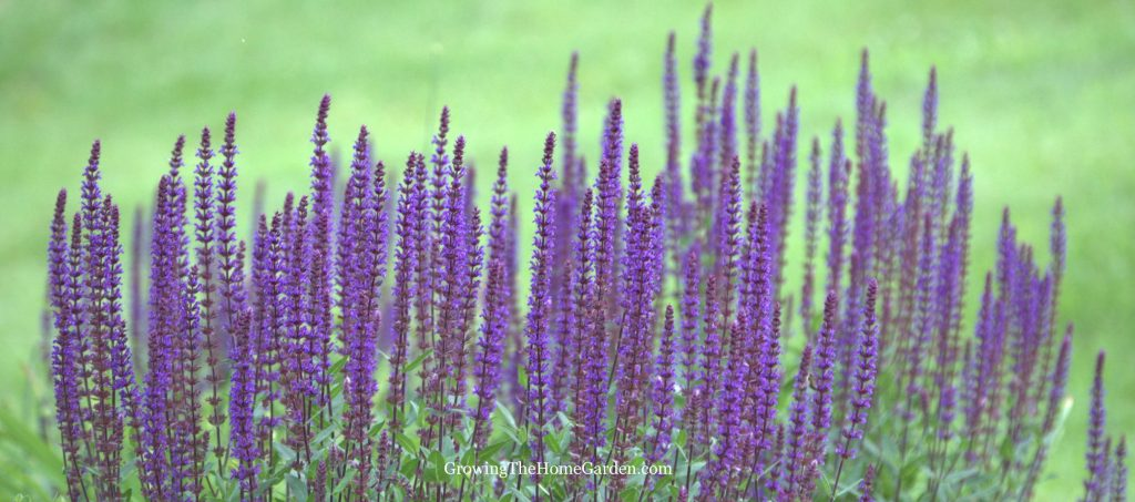 How To Propagate Salvia From Cuttings Growing The Home