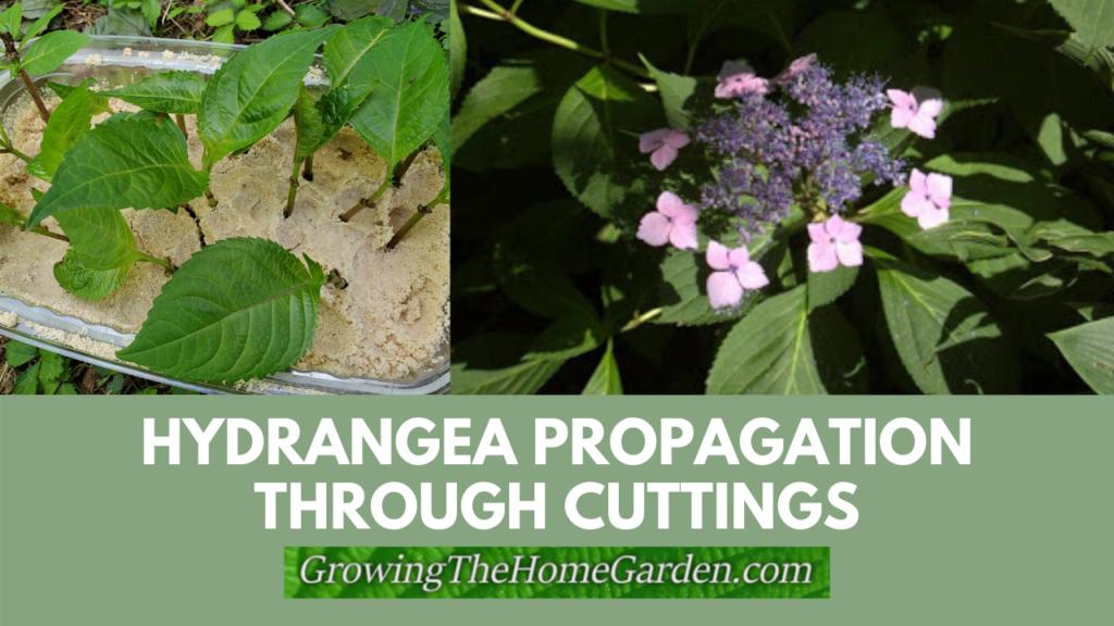 hydrangea propagation through cuttings
