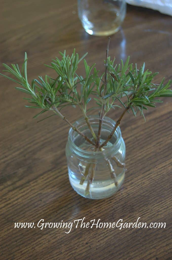 Rosemary cuttings being rooted in water.