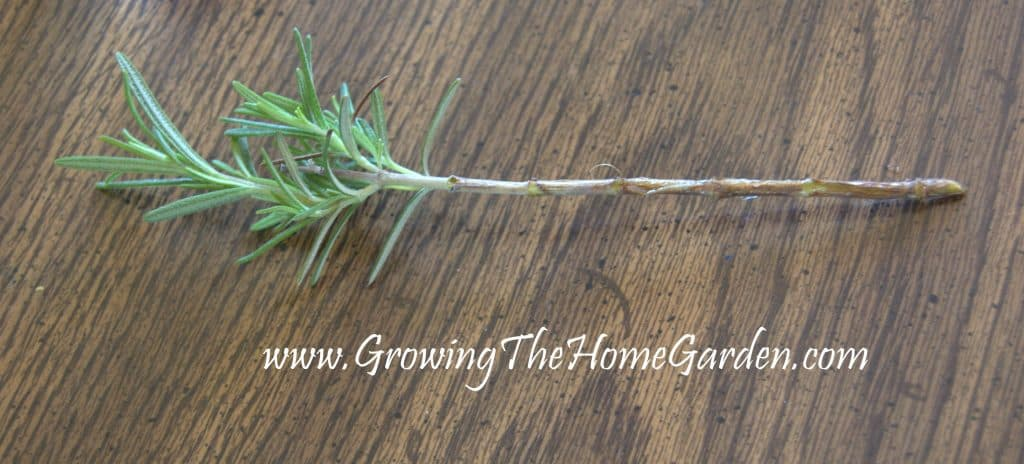 Cutting of rosemary for propagation in water.