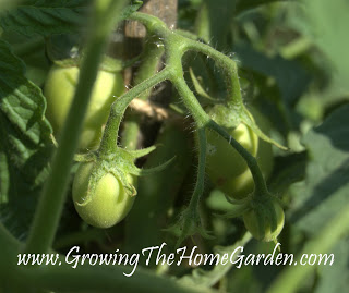 The First Tomatoes