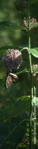 A Magnificent Monarch on Milkweed (Asclepias syriaca)