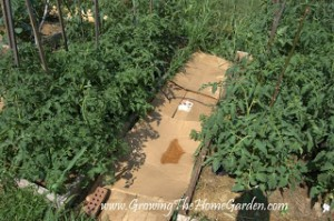 Vegetable Garden: Tomatoes, Zucchini, and Cabbages