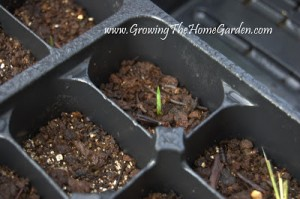 Growing Yuccas From Seed (Part 1)
