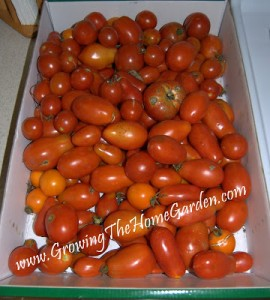 Tomatoes and Fall Garden Thoughts