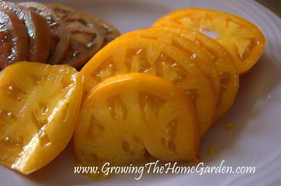 Woodle Orange tomatoes are a delicious orange tomato that has performed very reliably in my garden. It's a regular planting year after year!