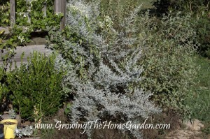 Garden Mistakes: Artemisia