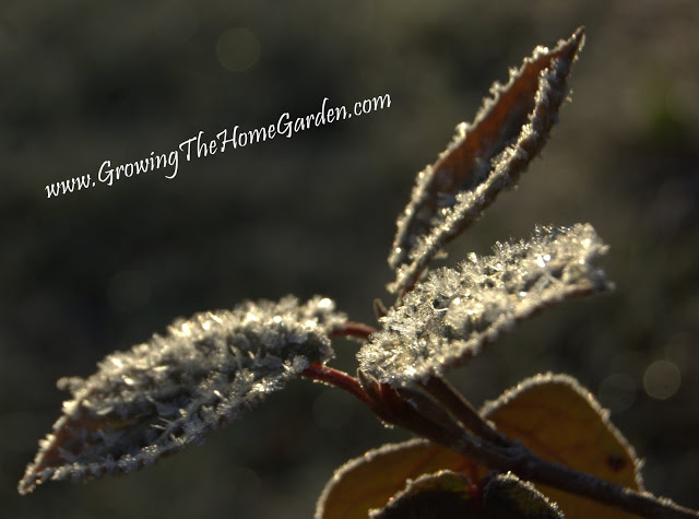 Ice Crystals on a Viburnum Leaf (Photo)