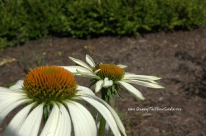 From Warmer Days: White Coneflowers (Picture Post)